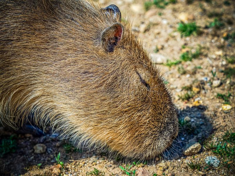 Capybara. The capybara Hydrochoerus hydrochaeris is a mammal native to South America. It is the largest living rodent in the world. Also called chigüire, chig stock photography