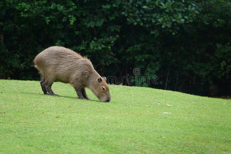 Capybara or water hog grazing on green grass. The capybara Hydrochoerus hydrochaeris is a mammal native to South America. It is the largest living rodent in the royalty free stock photos