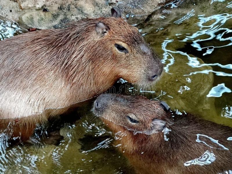 Capybara Hydrochoerus hydrochaeris is a mammal native to South America. It is the largest living rodent in the world. stock images