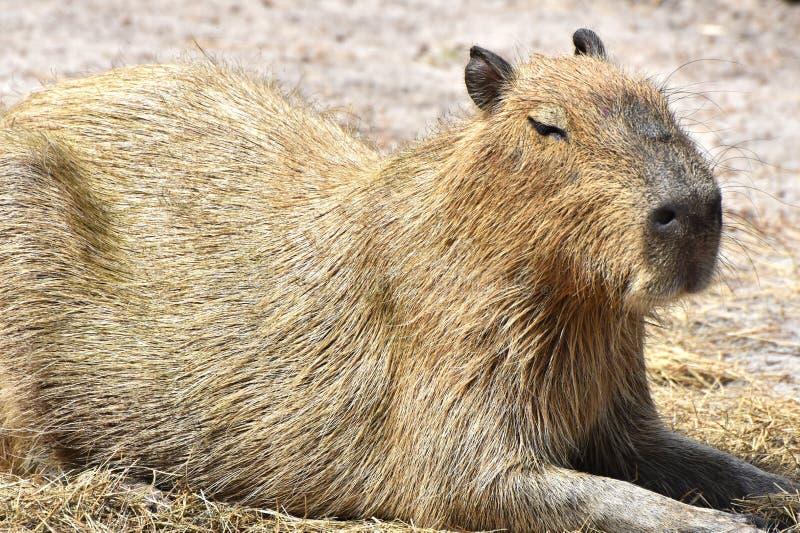 Capybara Hydrochoerus hydrochaeris royalty free stock images