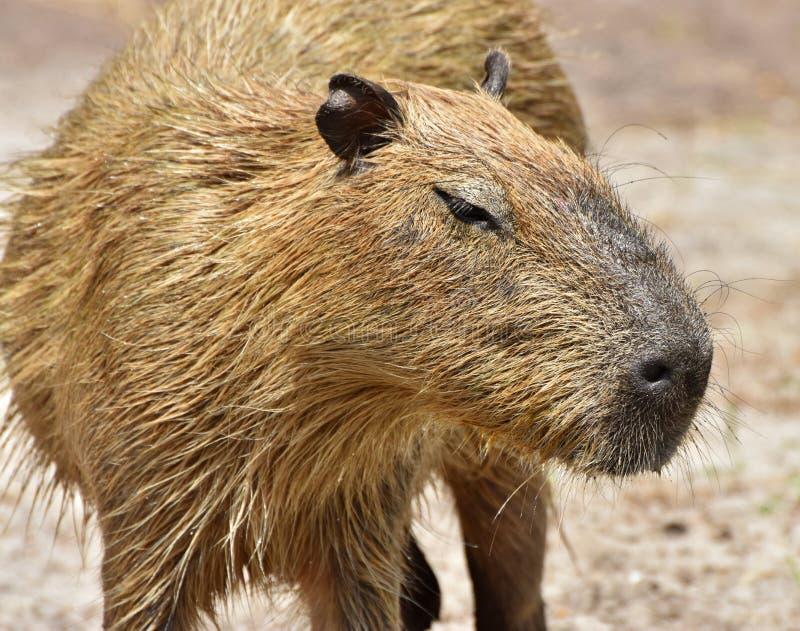 Capybara Hydrochoerus hydrochaeris royalty free stock image