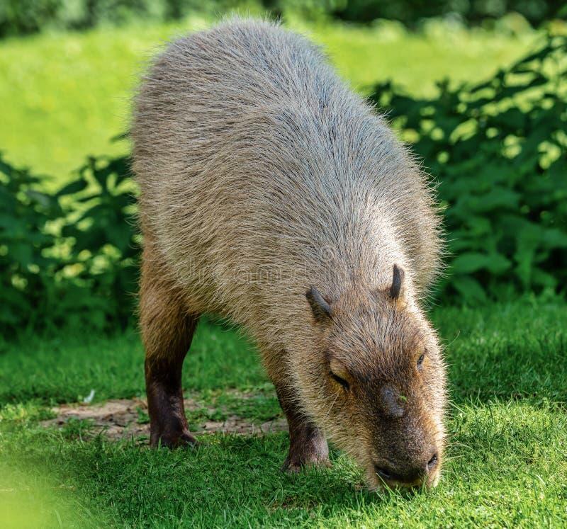 Capybara, Hydrochoerus hydrochaeris weiden lassend auf frischem grünem Gras lizenzfreies stockfoto