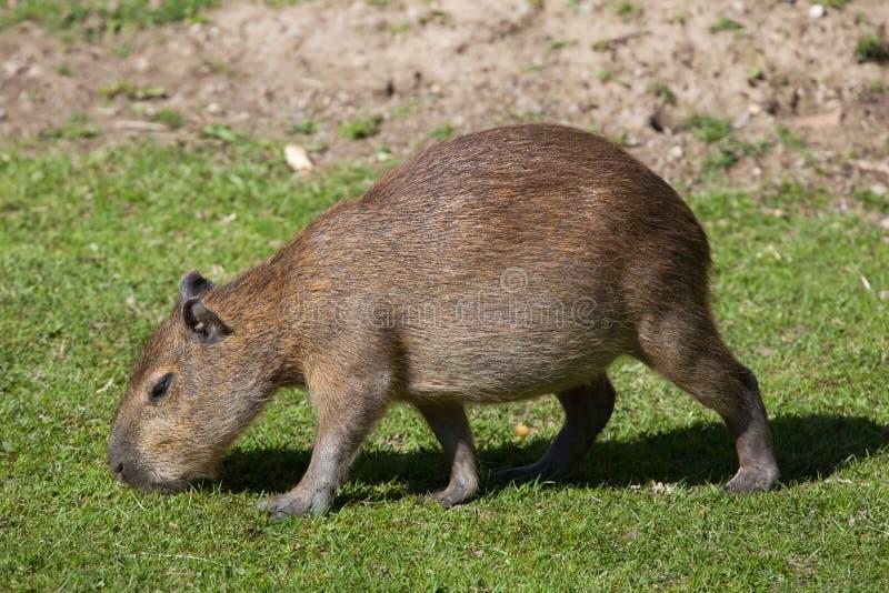 Capybara (Hydrochoerus hydrochaeris). royalty free stock images