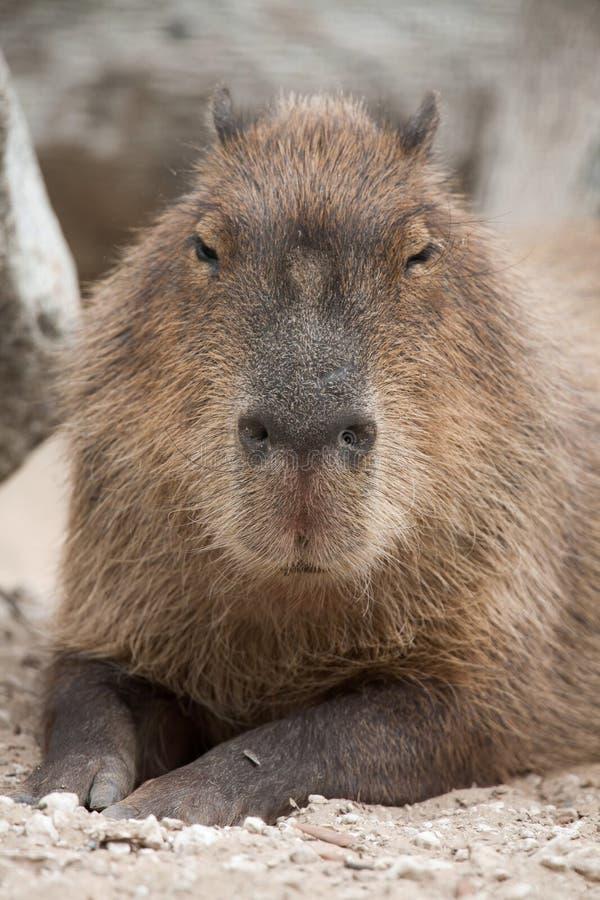 Capybara Hydrochoerus hydrochaeris. stock images