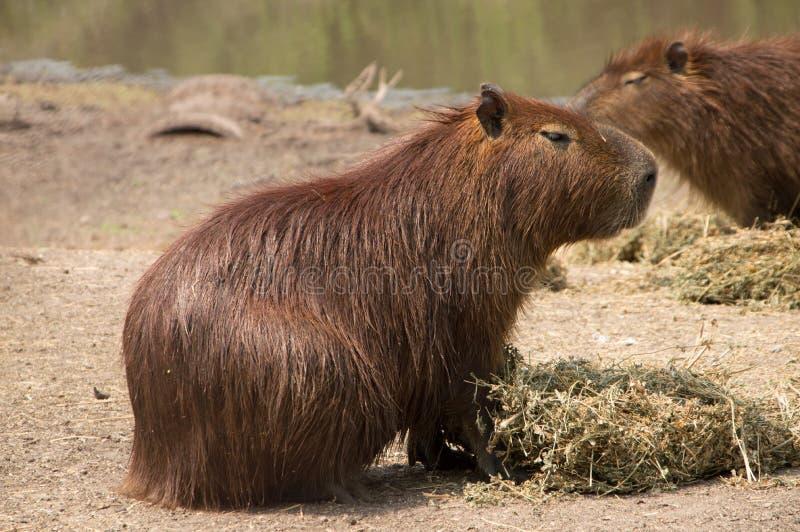 Capybara i den naturliga reserven i Montevideo, Uruguay royaltyfri foto