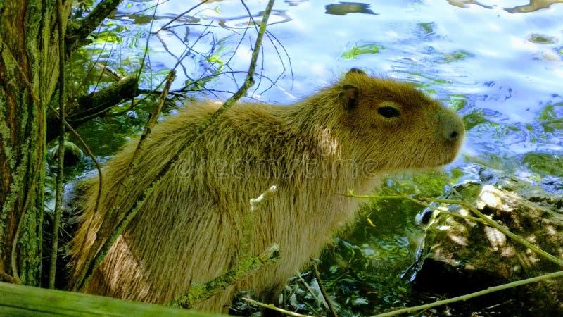 Capybara i vatten royaltyfria bilder