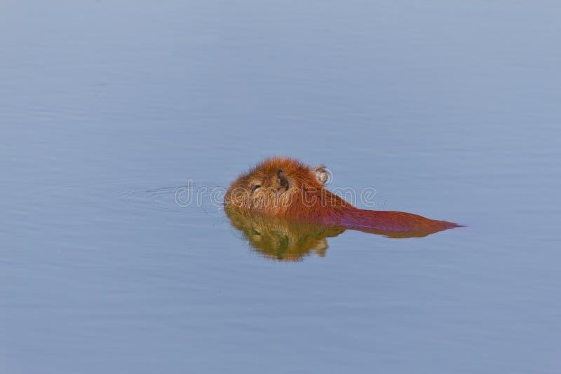 Capybara im See stockbilder