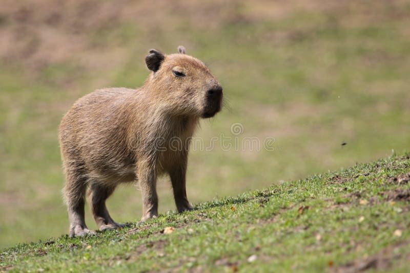 Capybara juvenile. The capybara juvenile standing on the grass stock image