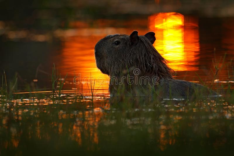 Capybara in the lake water. The biggest mouse around the world, Capybara, Hydrochoerus hydrochaeris, with evening light during sun royalty free stock photography