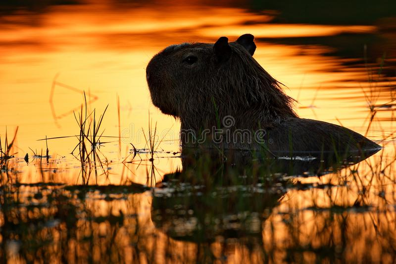 Capybara in the lake water. The biggest mouse around the world, Capybara, Hydrochoerus hydrochaeris, with evening light during sun royalty free stock images