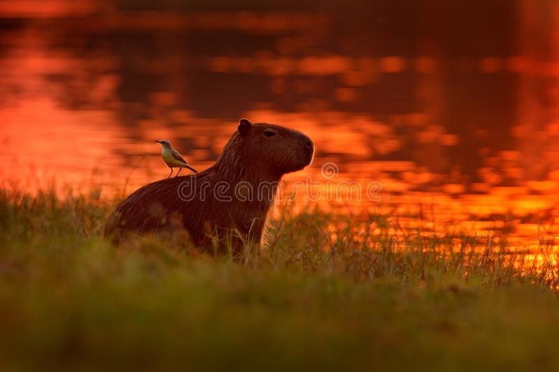 Capybara in the lake water with bird on the back. The biggest mouse around the world, Capybara, with evening light during orange s stock photos