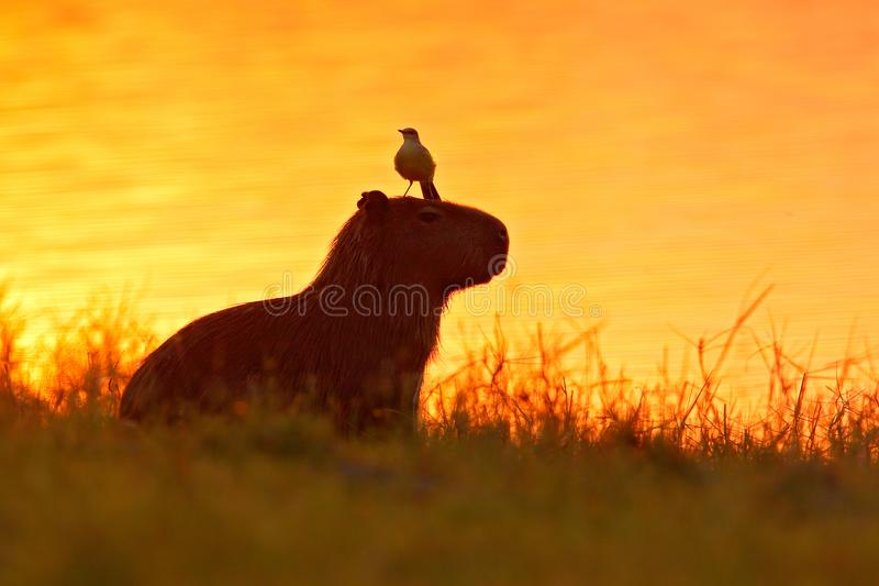 Capybara in the lake water with bird. The biggest mouse around the world, Capybara, Hydrochoerus hydrochaeris, with evening light. During orange sunset stock photography