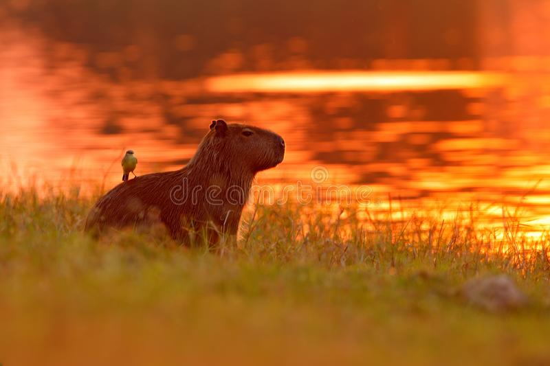Capybara in the lake water with bird. The biggest mouse around the world, Capybara, Hydrochoerus hydrochaeris, with evening light royalty free stock images