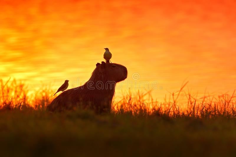 Capybara in the lake water with bird. The biggest mouse around the world, Capybara, Hydrochoerus hydrochaeris, with evening light royalty free stock photography