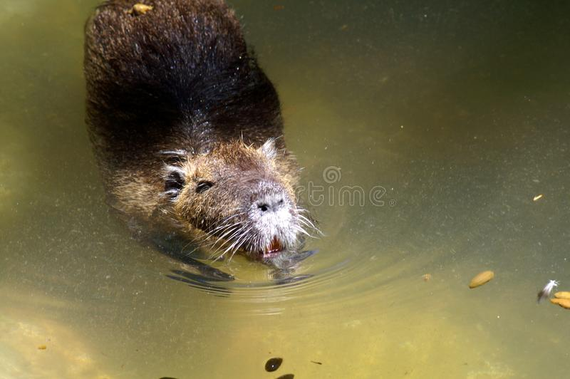 The capybara is the largest living rodent in the world. royalty free stock photos