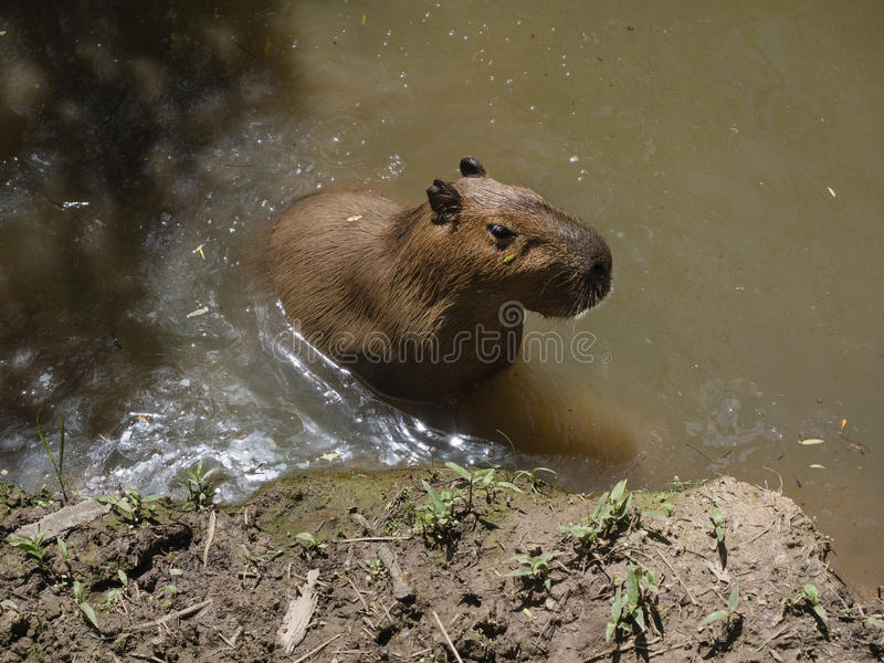 Capybara, the largest rodent stock image