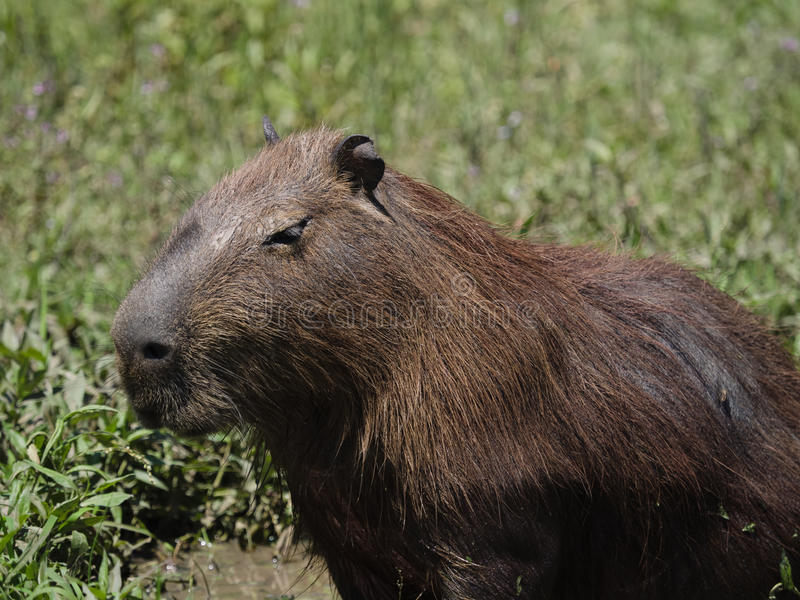 Capybara, the largest rodent stock photo