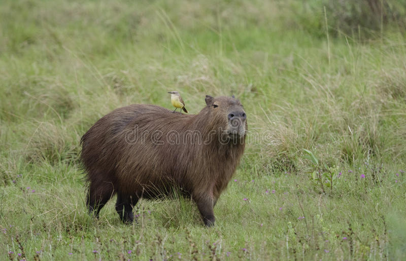 Capybara, the largest rodent royalty free stock photos