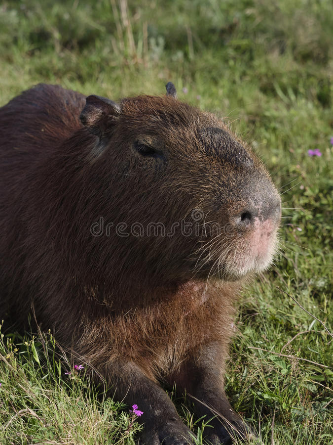 Capybara, the largest rodent royalty free stock image
