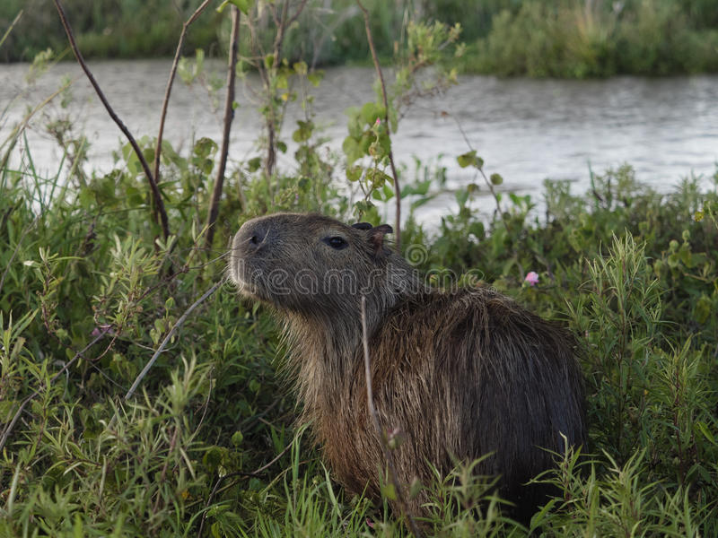Capybara, the largest rodent royalty free stock photography