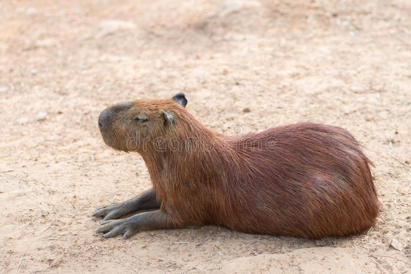 The capybara is the largest rodent stock photo