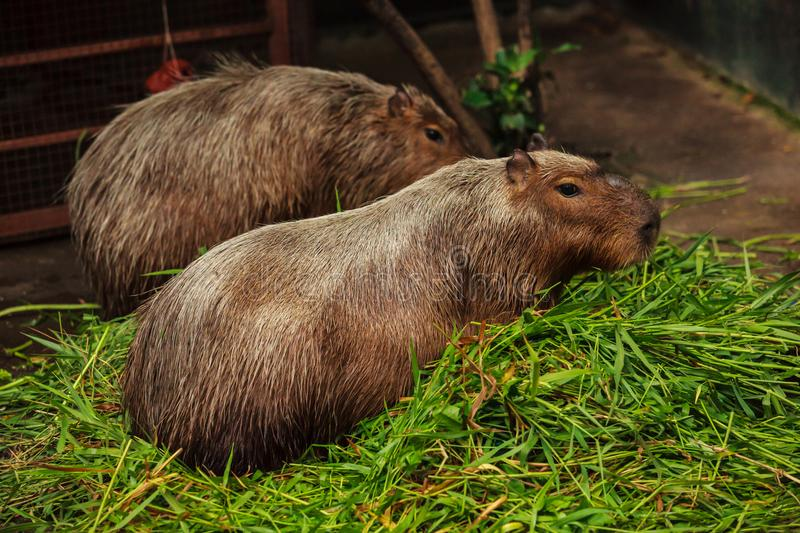 A capybara is the largest rodent in the world, closely related to guinea pigs with long light brown shaggy hair, no tail royalty free stock image