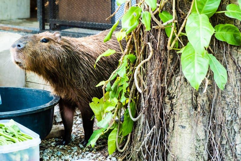 Capybara Los hydrochaeris del Hydrochoerus del capybara el roedor m?s grande en el mundo Capybara que se sienta en hierba verde E imagenes de archivo