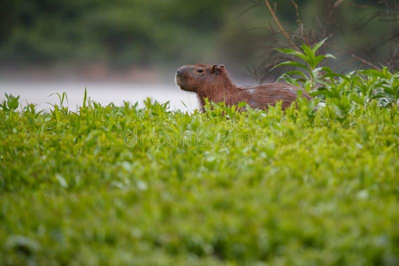 Capybara in the nature habitat of northern pantanal stock photography