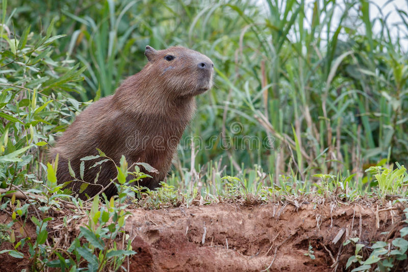 Capybara in the nature habitat of northern pantanal. Biggest rondent, wild america, south american wildlife, beauty of nature, giants stock photo