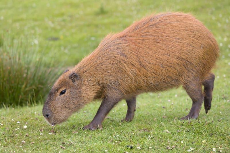 Capybara oder hydrochaeris stockbilder