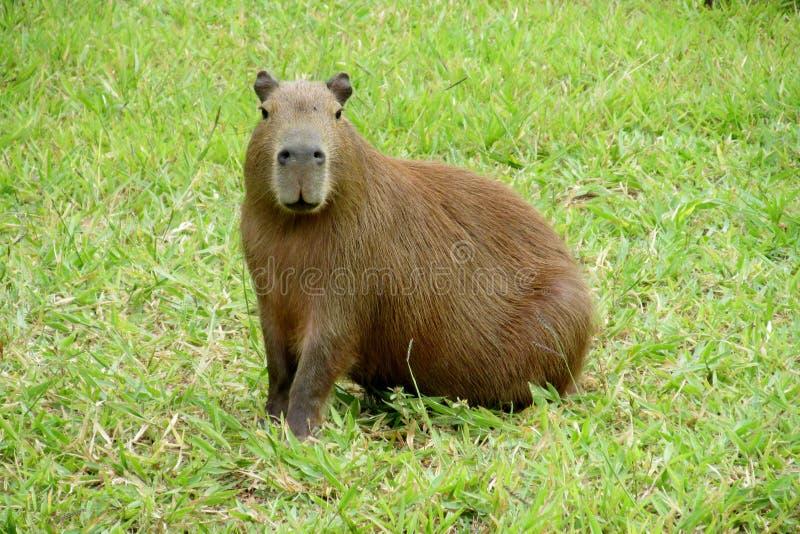 Capybara op het groene gras royalty-vrije stock afbeeldingen