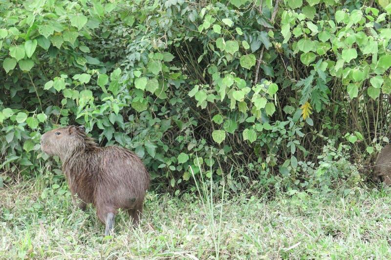 Capybara Parque de Madidi bolivia foto de archivo