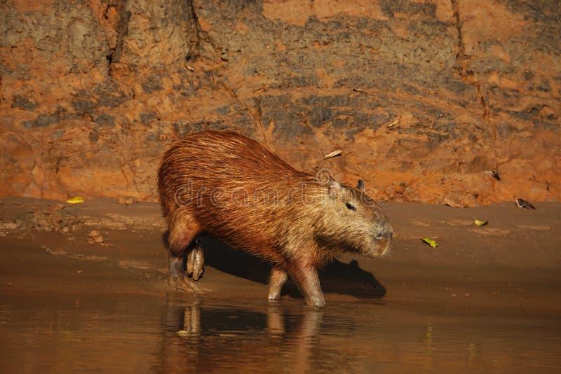 Capybara que camina en una pequeña corriente en la selva de Perú, foto tomada durante un viaje turístico foto de archivo