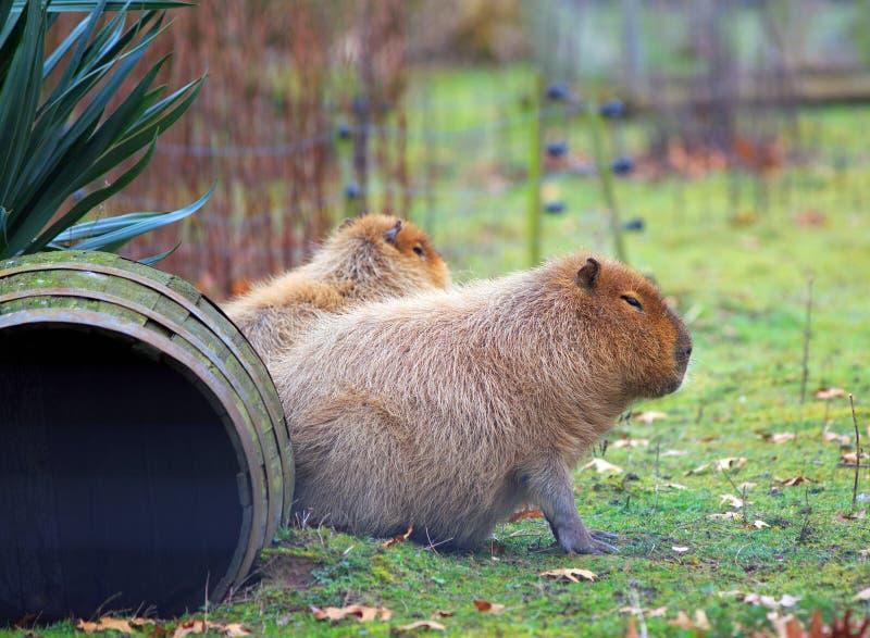 Capybara que descansa sobre hierba enorme imagenes de archivo