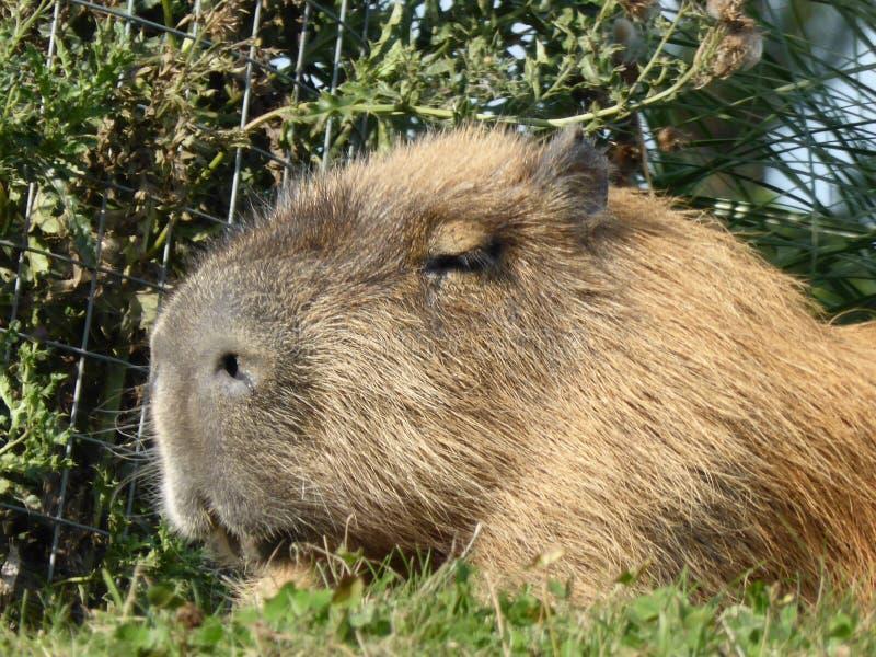 Capybara que mira hacia fuera el mundo fotografía de archivo
