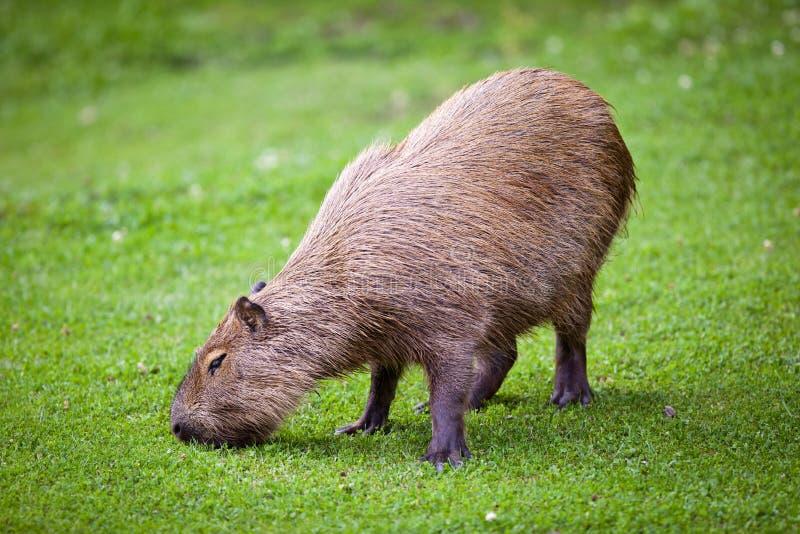 Capybara que pasta en hierba verde imagenes de archivo