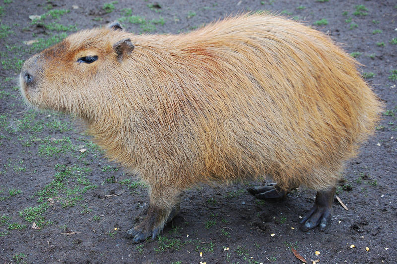 Capybara rodent. Capybara, largest rodent in the world royalty free stock photos