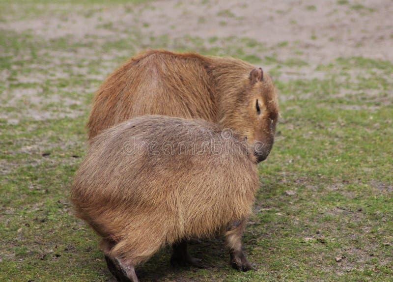 Capybara` s royaltyfri foto