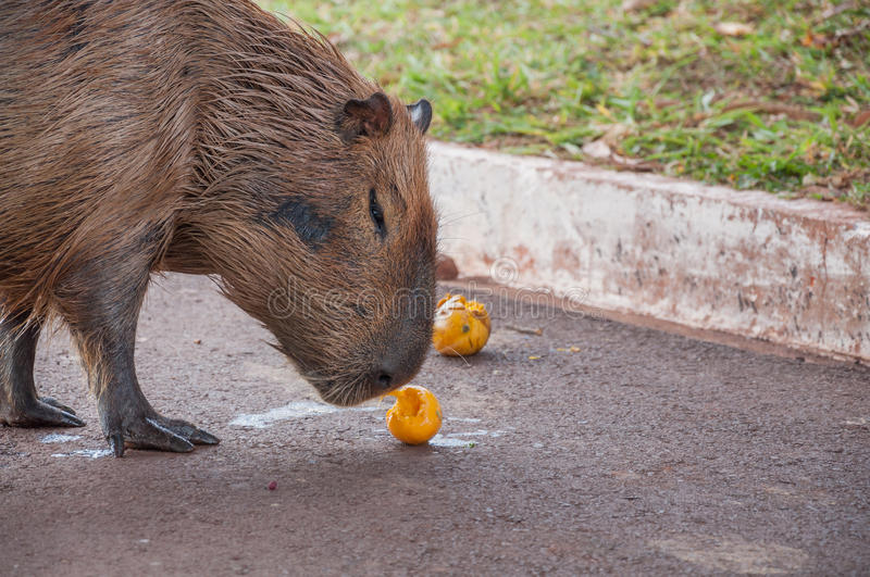 Capybara smelling and eating a yellow mango fruit stock photography