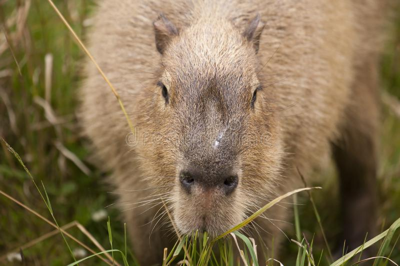 Download Capybara Snout stock photo. Image of ears, snout, grass - 16827646
