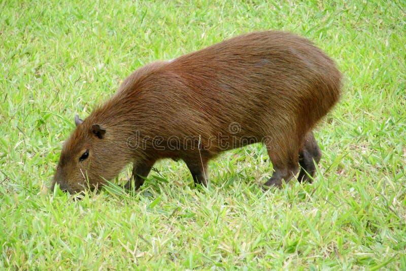 Capybara som äter grönt gräs royaltyfri bild