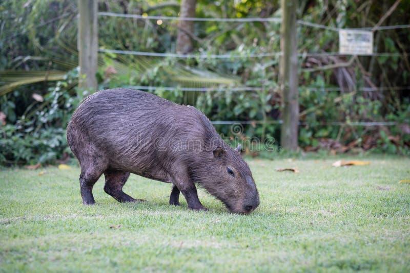 Capybara som betar på privat egenskap för gräsinsida Cabycaraen är en stillhet och ett försiktigt däggdjur som mycket är gemensam arkivbild