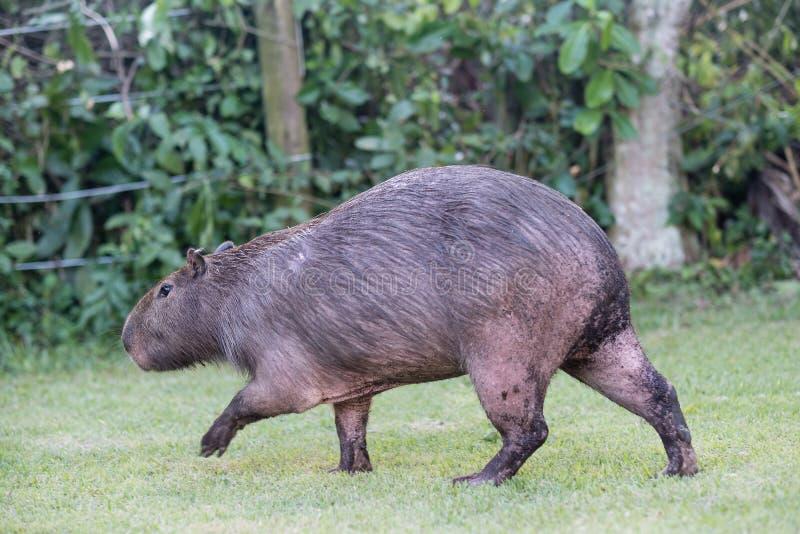 Capybara som betar på privat egenskap för gräsinsida Cabycaraen är en stillhet och ett försiktigt däggdjur som mycket är gemensam royaltyfri fotografi