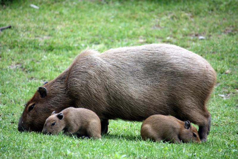 Capybara With Sucklings Royalty Free Stock Photos