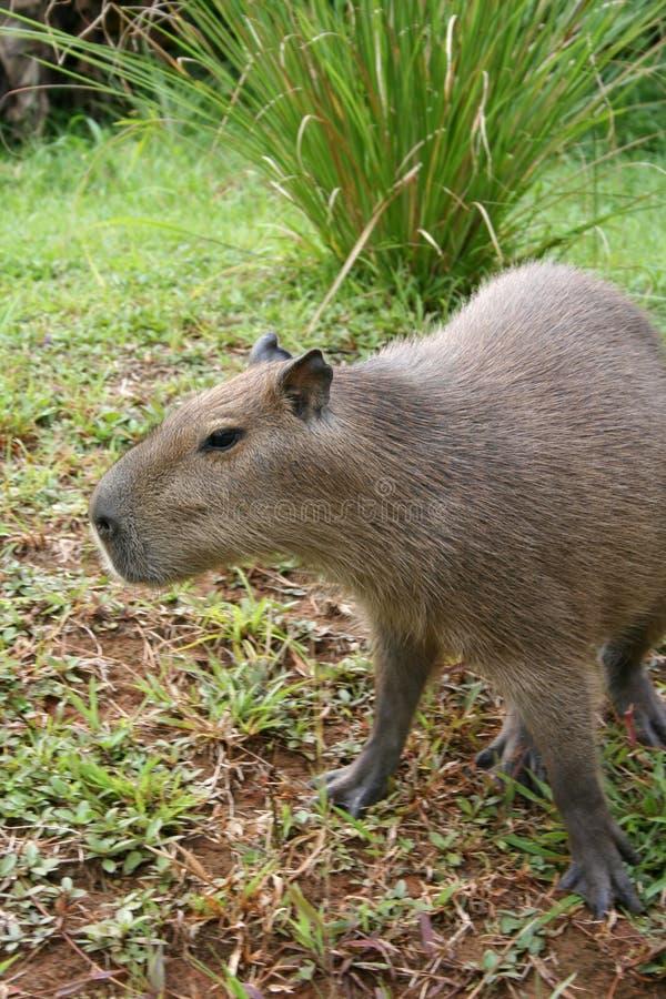 Capybara verwirrt stockbild