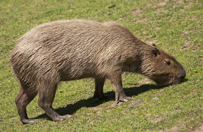 Download Capybara stock image. Image of animal, herbivore, nature - 31935411