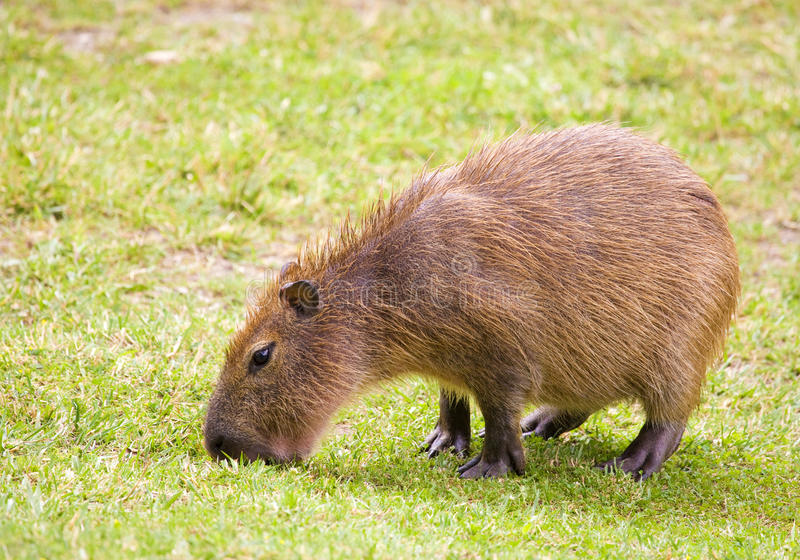 Download Capybara stock image. Image of green, grass, grazing - 34396811