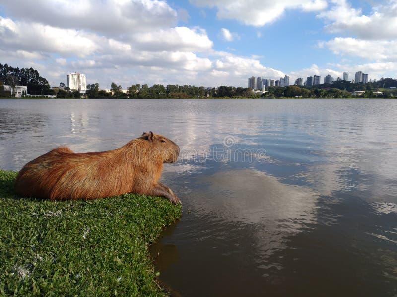 Capybara y lago imagenes de archivo
