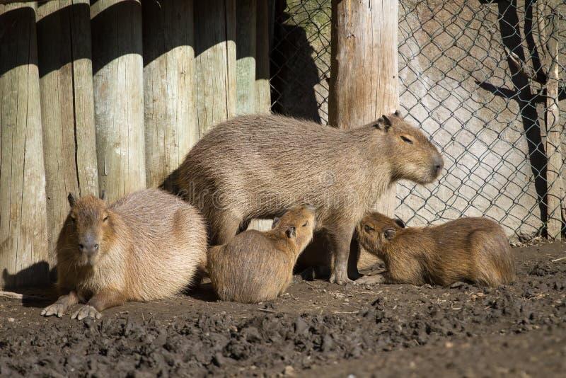 Capybara y sus cachorros imagen de archivo