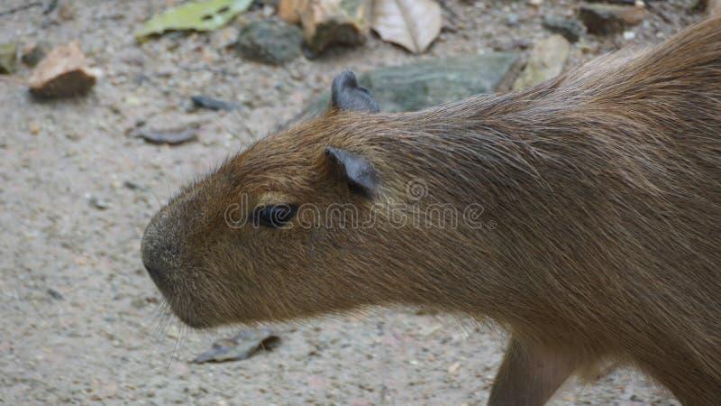 Capybaraen är en däggdjurs- inföding till Sydamerika Det är den största bosatta gnagaren i världen Kallade också chigüire royaltyfri fotografi